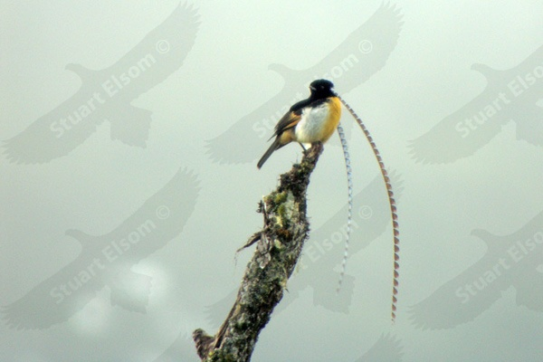 Papua New Guinea - Birds of Paradise ~ August 2009   Stuart Elsom ...